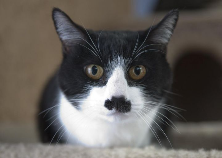 Miss Stache, an adopted Domestic Short Hair in Fort Smith, NT