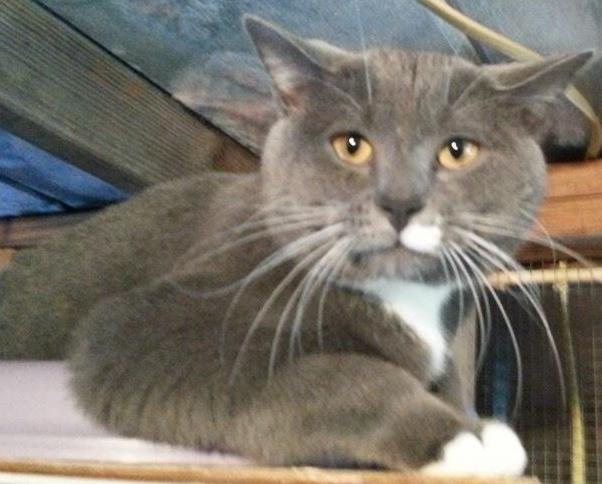 Katmandu, an adopted Domestic Short Hair in Tallahassee, FL