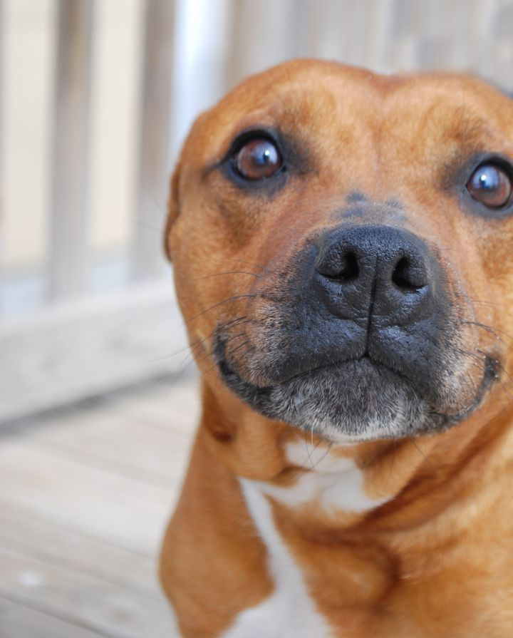 Jordan, an adopted Staffordshire Bull Terrier in Kansas City, MO