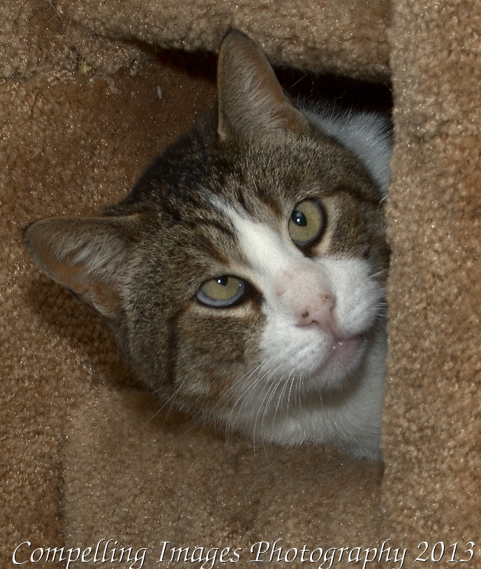 Crosby, an adopted Domestic Short Hair & Manx Mix in Fort Collins, CO