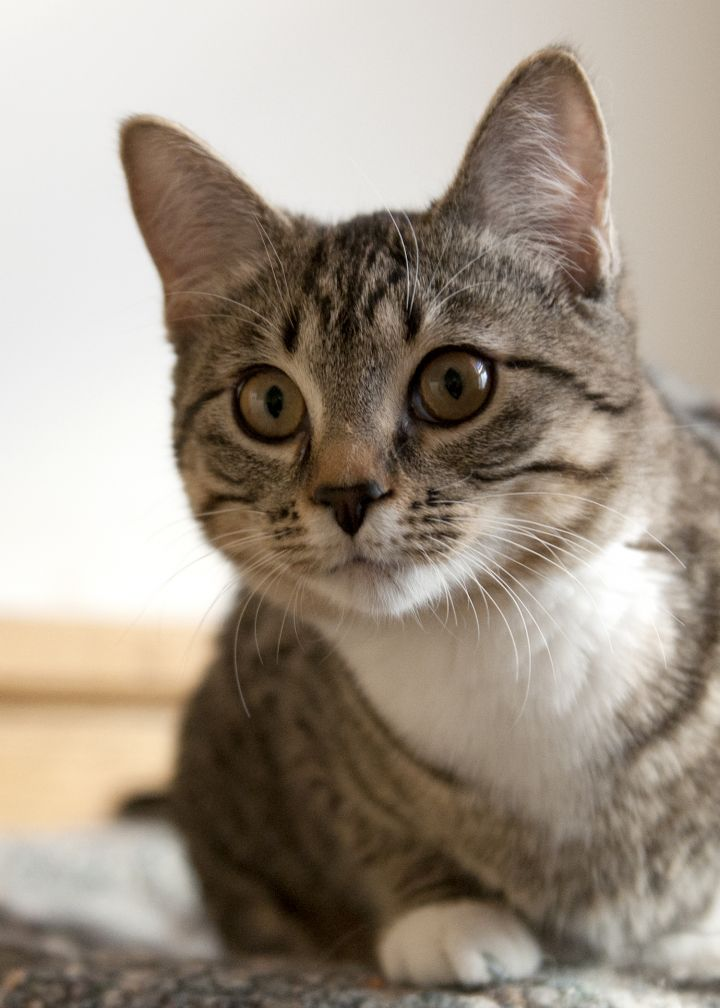 Otter, an adopted American Shorthair in Fort Smith, NT