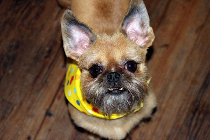 Taffy - ADOPTION PENDING, an adopted Brussels Griffon in Rogers, AR