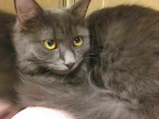 Emily, an adopted Domestic Long Hair in Cambridge, MA