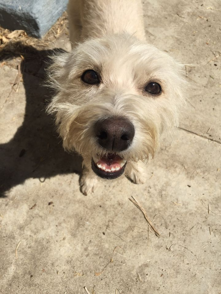 Dog For Adoption Bobby A Wirehaired Terrier Amp Dachshund