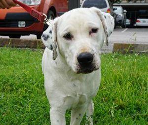 Ethan American Bulldog Dog