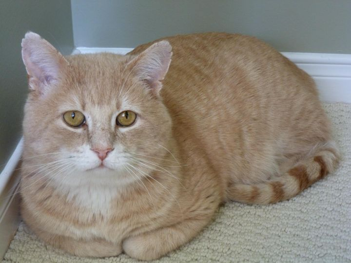Oscar, an adopted Tabby in Pickering, ON