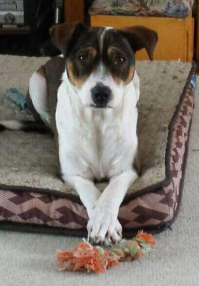 Sasha (In Foster), an adopted Beagle & Jack Russell Terrier Mix in Freeport, ME_image-3