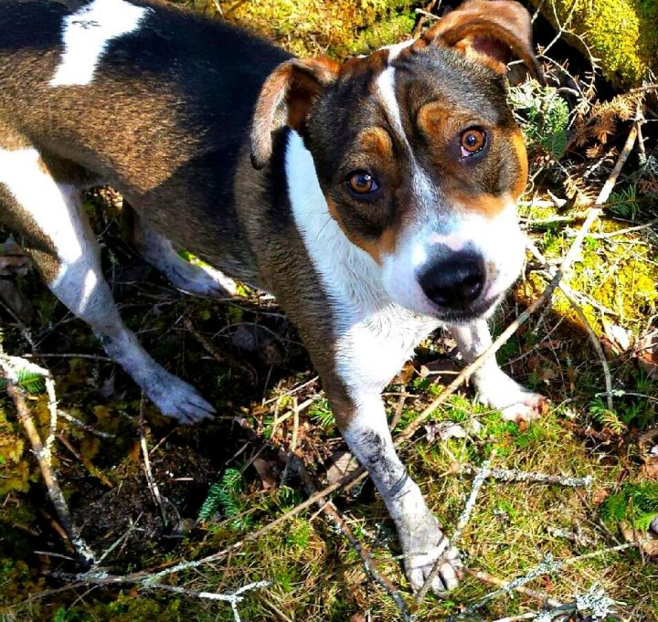 Sasha (In Foster), an adopted Beagle & Jack Russell Terrier Mix in Freeport, ME_image-1