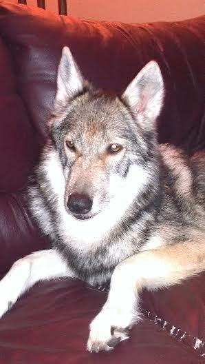Indika (Tamaskan Dog) - Home Program 1