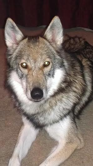 Indika (Tamaskan Dog) - Home Program 2