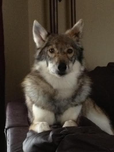 Indika (Tamaskan Dog) - Home Program 3