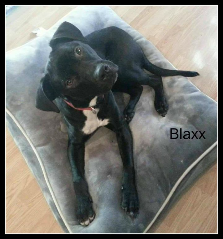 Blaxx, an adopted Pit Bull Terrier & Labrador Retriever Mix in Staten Island, NY