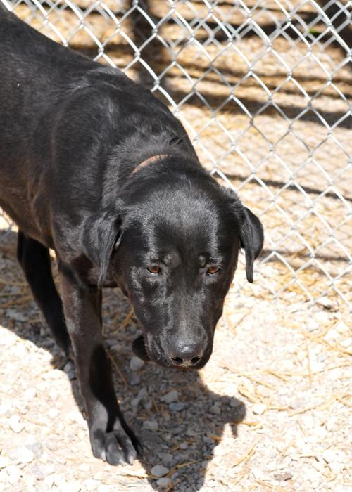 Pika, an adopted Labrador Retriever Mix in Fort Smith, NT