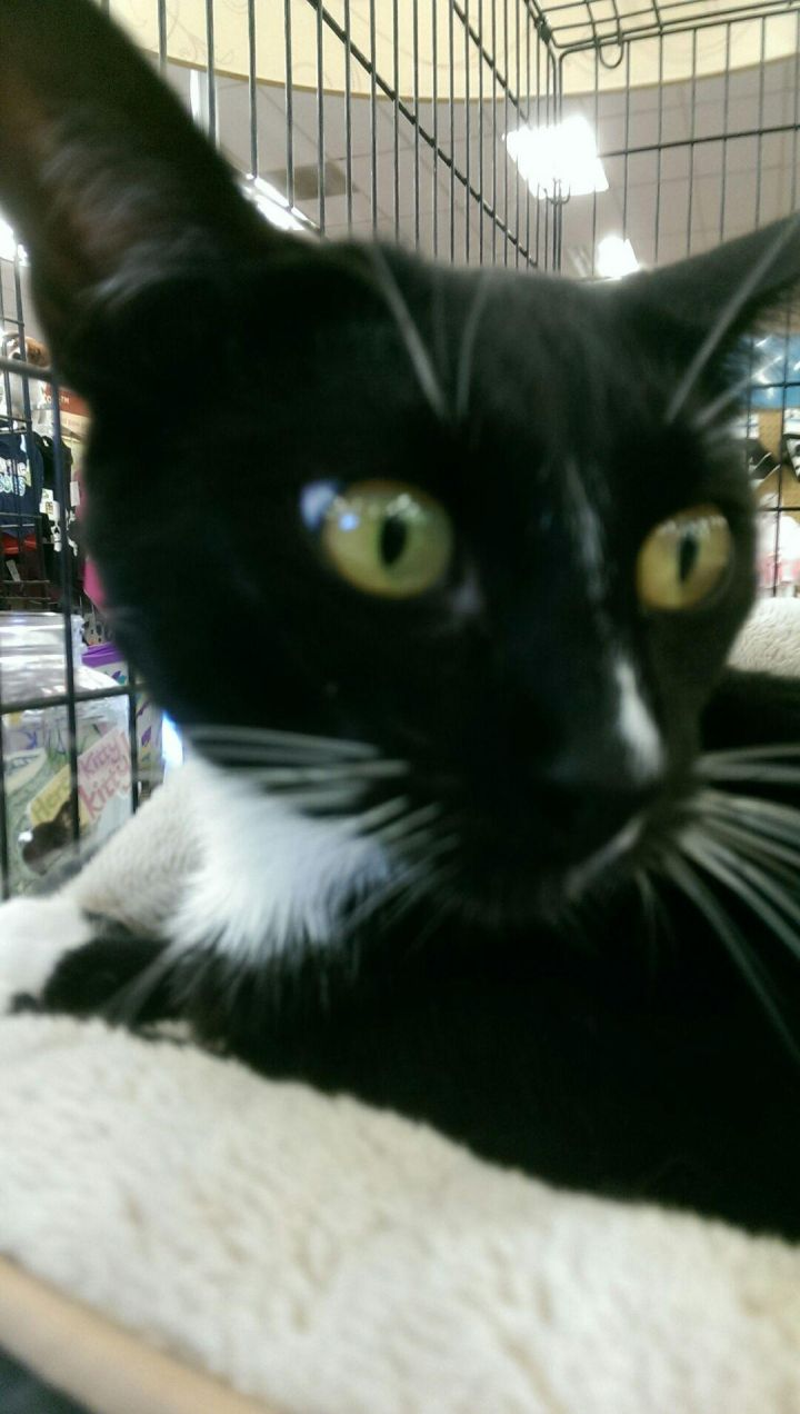 Halle - I may be the sweetest kitty you'll ever meet!, an adopted Tuxedo in Fountain Valley, CA