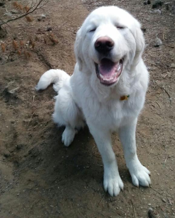 Montanna.- Adopted!, an adopted Great Pyrenees & Labrador Retriever Mix in Neshkoro, WI