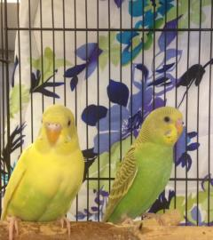 Parakeets, an adoptable Parakeet (Other) in Brooklyn, NY