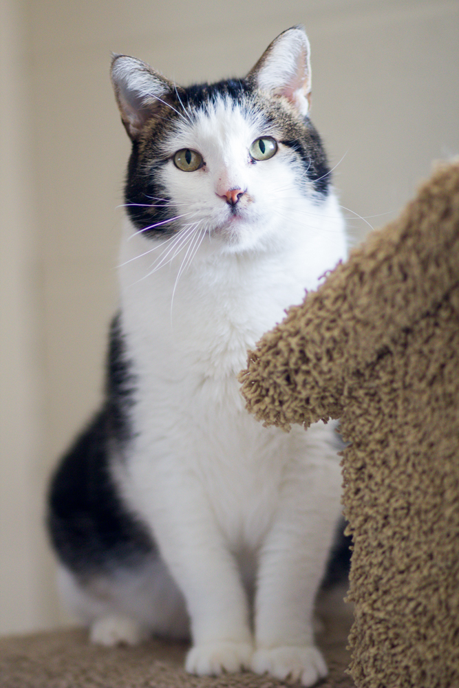 Scotty, an adoptable Domestic Short Hair Mix in Palo Cedro, CA