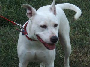 Spots aka Blanco American Staffordshire Terrier Dog