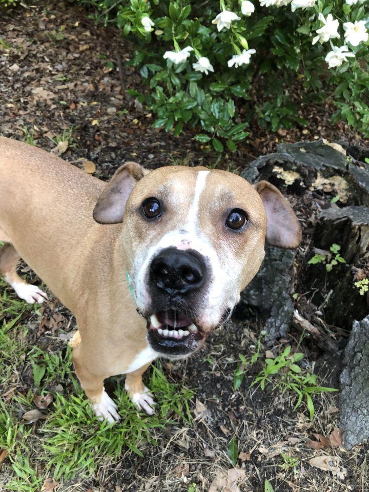 Dog For Adoption Braylon A Boxer Labrador Retriever Mix In