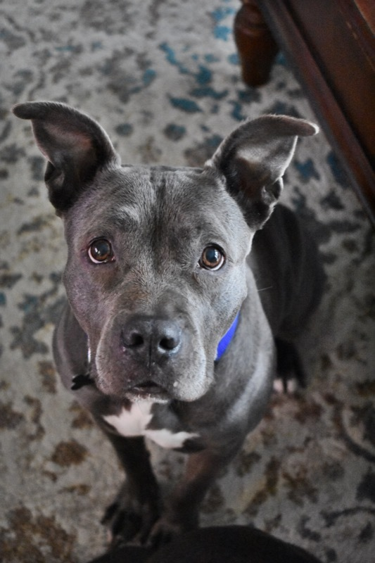 Veronica, an adoptable Pit Bull Terrier Mix in Chicago, IL