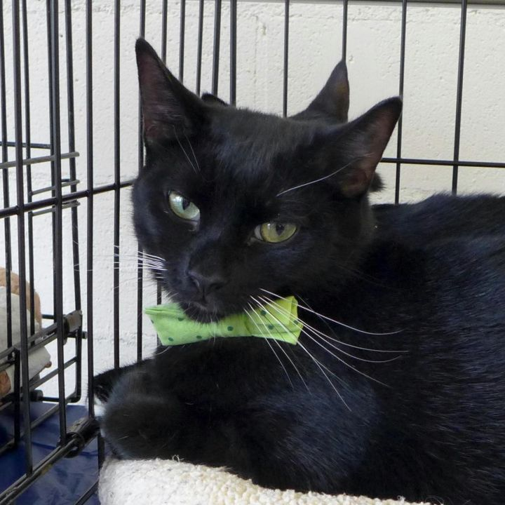 Chief, an adoptable Domestic Short Hair in Middle Village, NY
