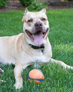 King, an adopted Pit Bull Terrier Mix in Charlotte, NC