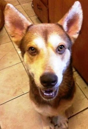 Tuppence Husky Dog