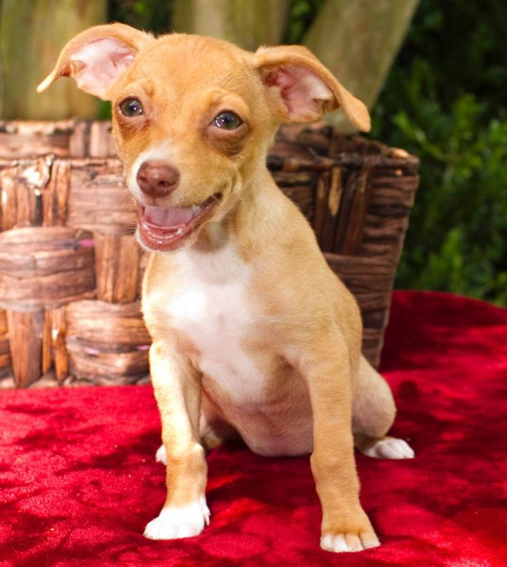April, an adopted Chihuahua in Branford, CT