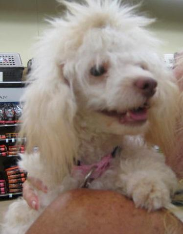Deeders, an adopted Poodle in Palm Bay, FL