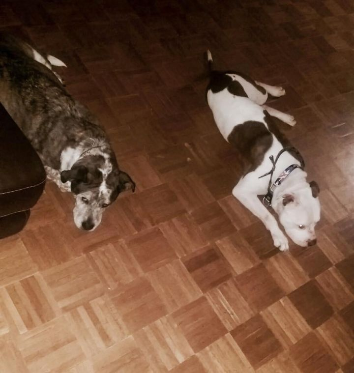 Birch, an adopted American Bulldog & Pit Bull Terrier Mix in Buffalo, NY