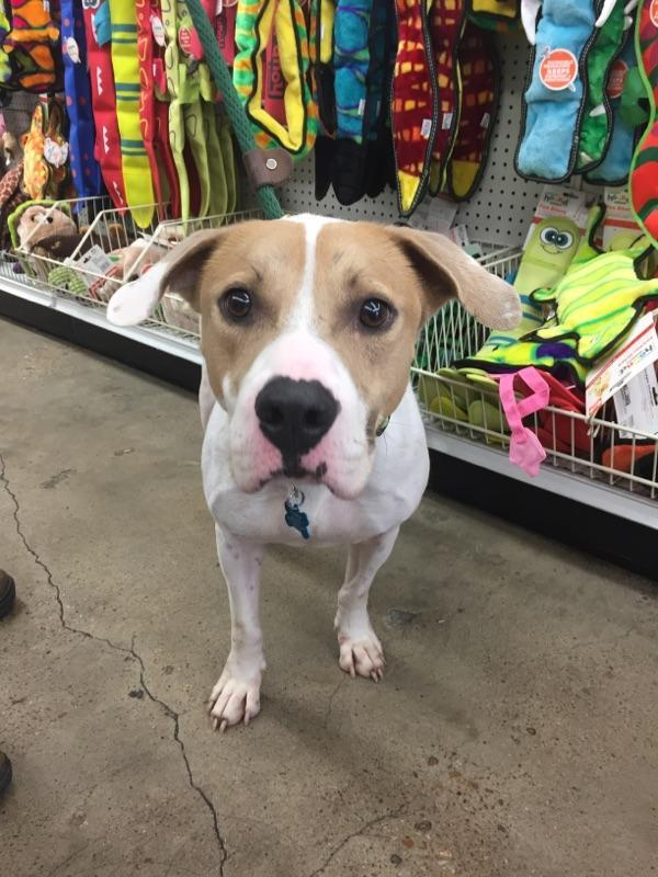 Charlie, an adopted Pit Bull Terrier & Hound Mix in Hempstead, TX