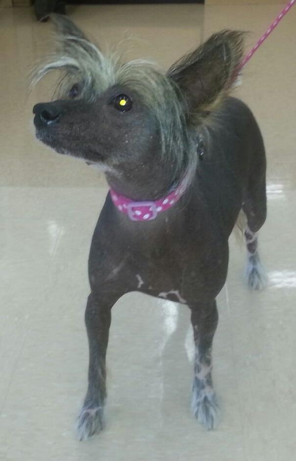 Gracie, an adopted Chinese Crested Dog in Palm Bay, FL
