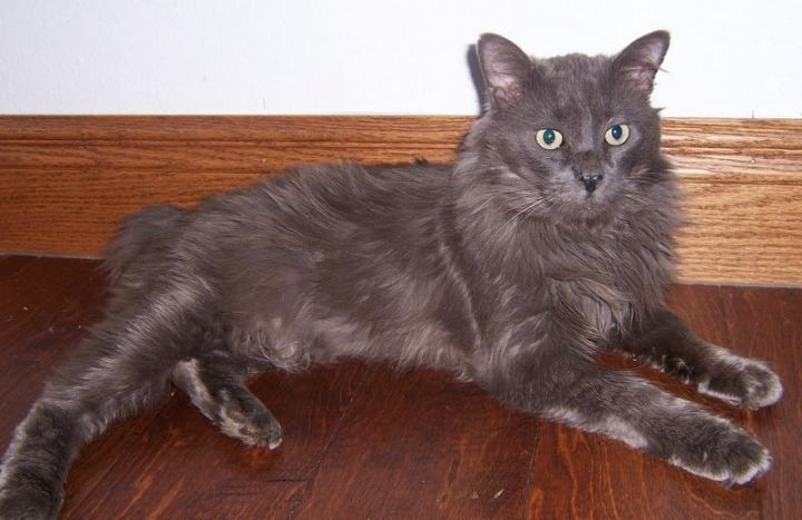 Max, an adopted Domestic Medium Hair & Manx Mix in Oklahoma City, OK