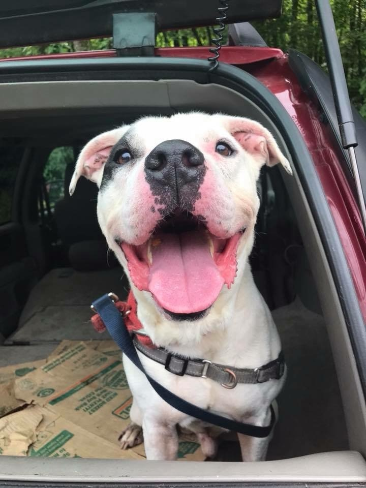 Joey, an adoptable American Bulldog Mix in Walden, NY