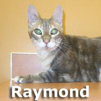 Raymond, an adopted Tabby & Domestic Short Hair Mix in Olympia, WA