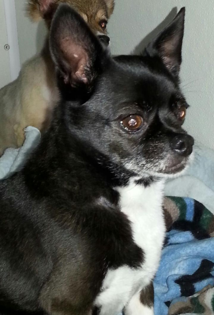 Little Black Hawk, an adoptable Boston Terrier & Chihuahua Mix in Newell, IA