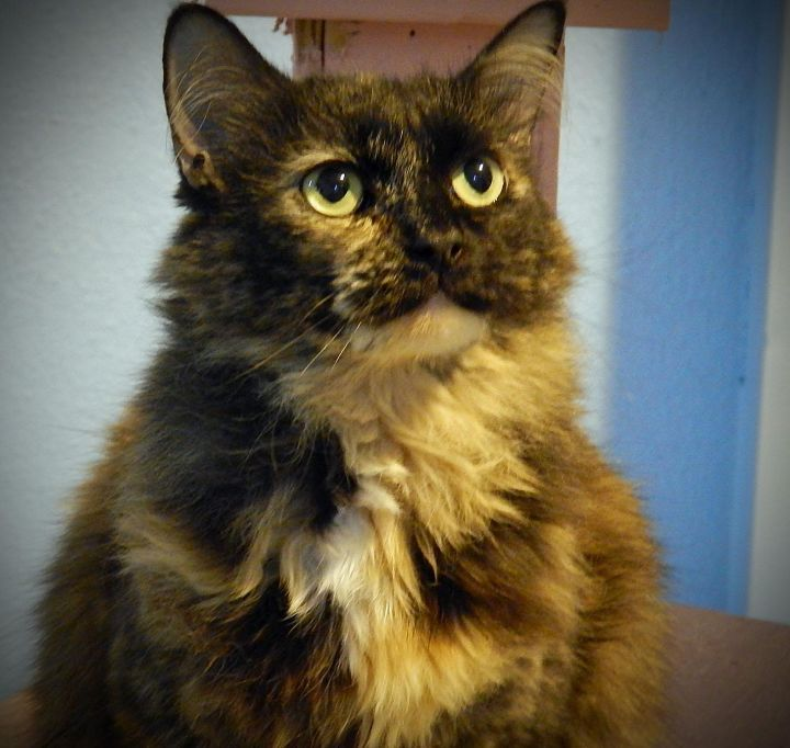 Darla, an adopted Calico in Anchorage, AK
