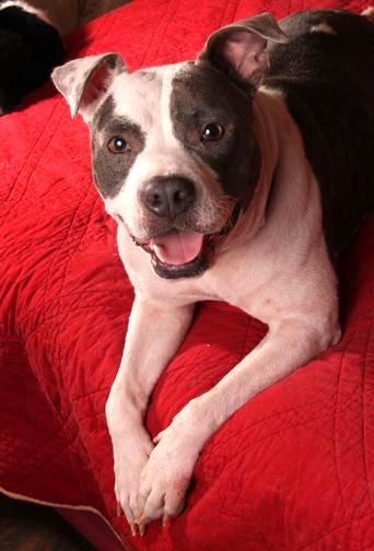 Lily Belle, an adopted American Staffordshire Terrier in Nashville, TN