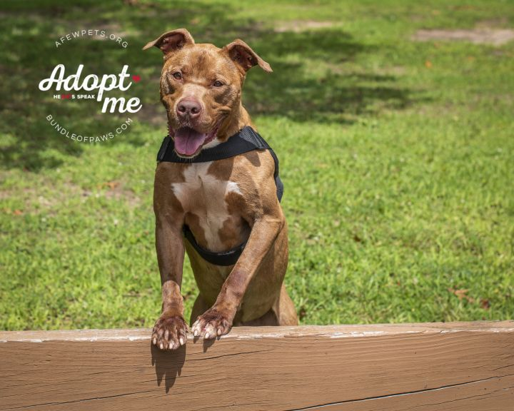 Boomer - URGENT, an adoptable American Staffordshire Terrier Mix in Hightstown, NJ