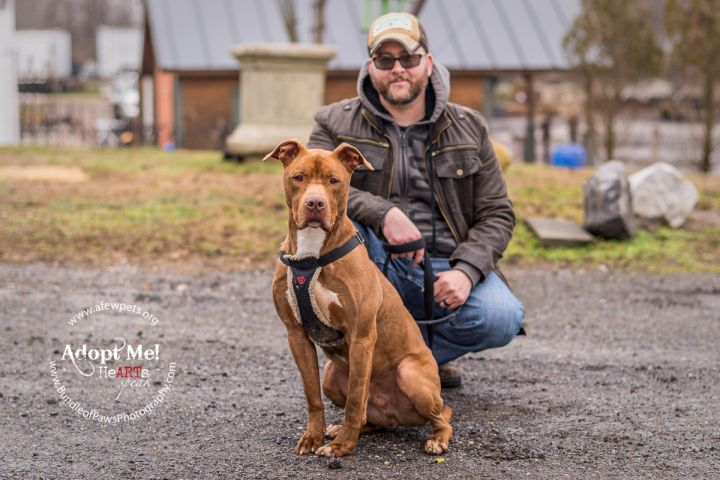 Boomer - URGENT, an adopted American Staffordshire Terrier in Hightstown, NJ
