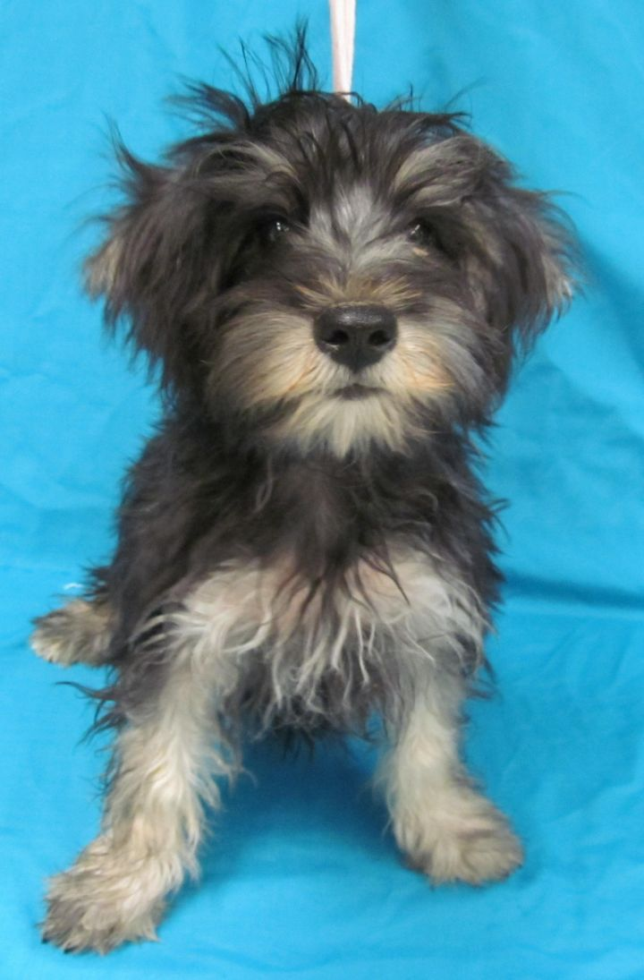 Jiminy, an adopted Schnauzer & Maltese Mix in Morton Grove, IL