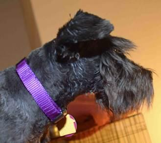 Wil, an adopted Schnauzer in Phoenix, AZ