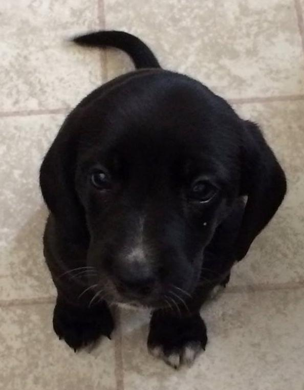 Rylee - ADOPTED!!!, an adopted Beagle & Black Labrador Retriever Mix in Mount Bethel, PA