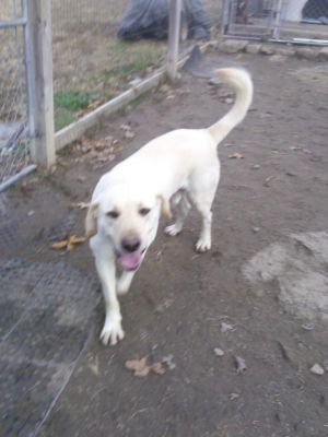 George is a six year old yellow Lab Mix George is neutered utd on shots housebroken cratetrained