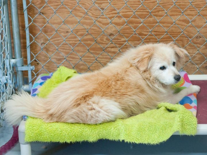 Sammy, an adopted Pomeranian Mix in Fort Smith, NT