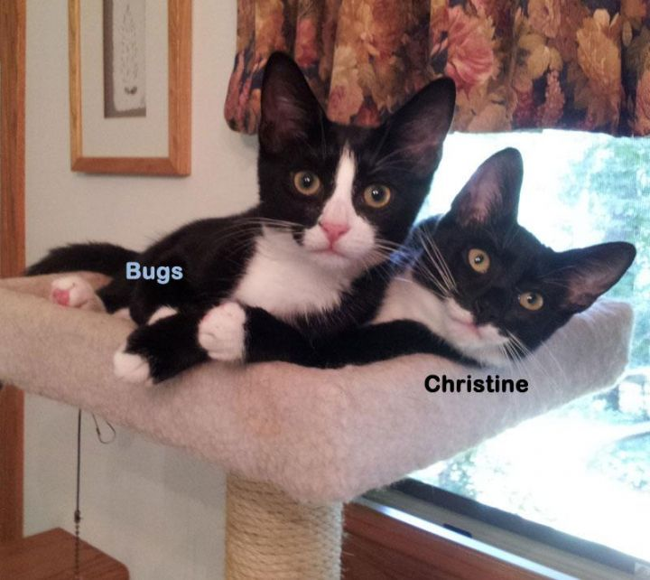 Bugs, an adopted Domestic Short Hair in Frederick, MD