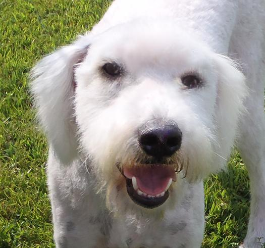 Buddy, an adopted Great Pyrenees & Standard Poodle Mix in Moosup, CT