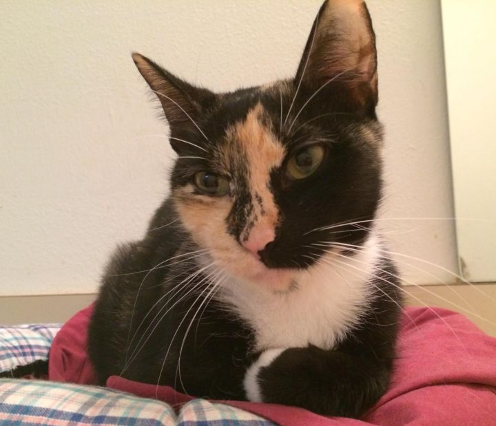 Dawn, an adopted Calico in Tallahassee, FL
