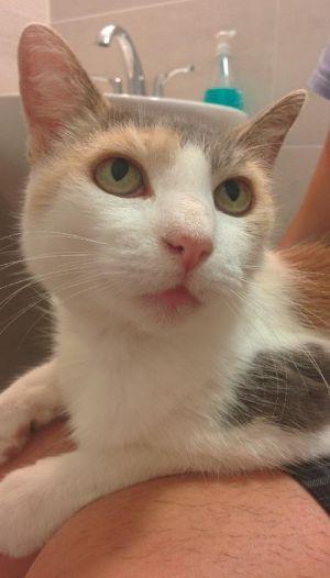 Queen Teuta Dilute Calico Cat