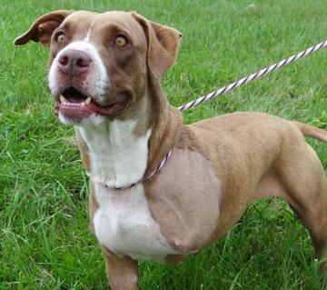 Gabrielle, an adopted Pit Bull Terrier Mix in Nashville, IN